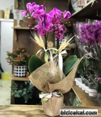 Orkide 18